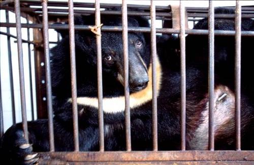 Bear Bile Farming - China - ESDAW